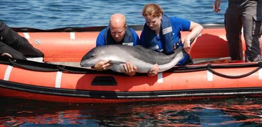 bruinvissen weer terug naar zee