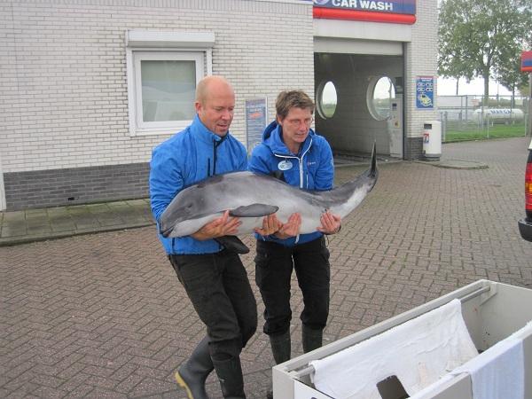 Archieffoto Ecomare en SOS Dolfijn samen in actie bij zieke gestrande bruinvis