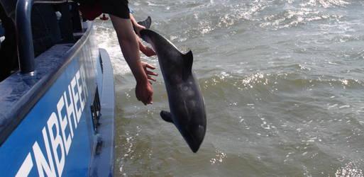 Bruinvissen desiree en sietske teruggebracht naar zee