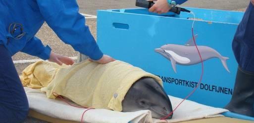 derde gestrande bruinvis opgevangen