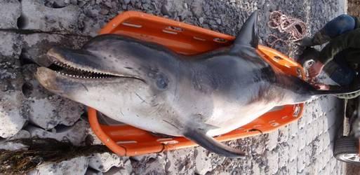 Dode tuimelaar bij het Zeeuwse Krabbendijke
