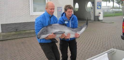 levend aangespoeld texelse bruinvis opgevangen